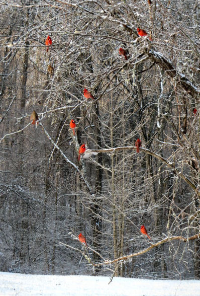 cardinals waiting in a tree
