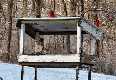 watching cardinals feeding at the bird feeder