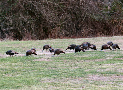 watching wild turkeys