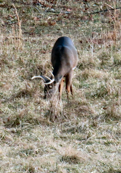 buck deer grazing