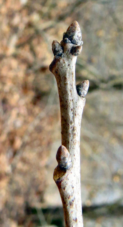 black oak winter buds