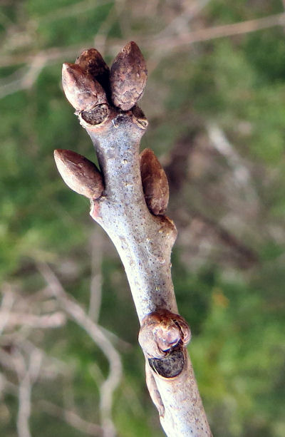 chinkapin oak winter buds