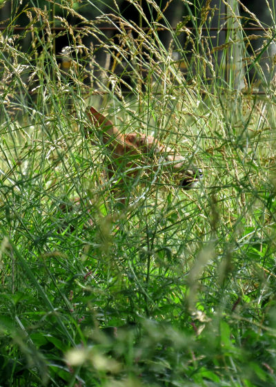 fawn hiding in tall grass