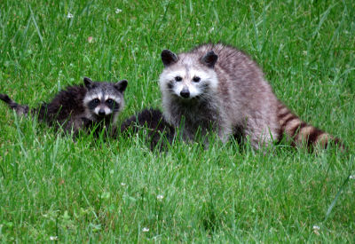 raccoon and raccoon kits