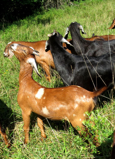 Nubian wether goat eating grass seed