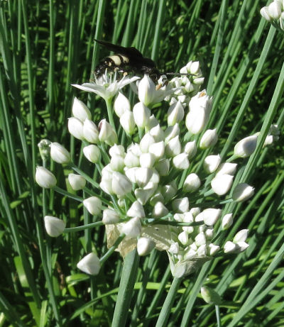 striped wasps are garlic chives pollinators