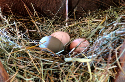 finding chicken eggs in the hay trough
