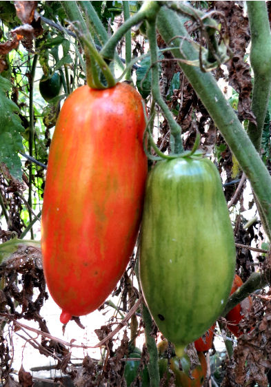 Speckled Roman tomatoes play waiting game gardening