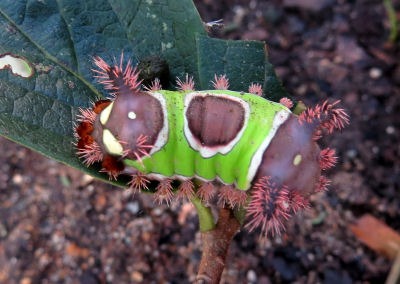 saddleback caterpillar side view