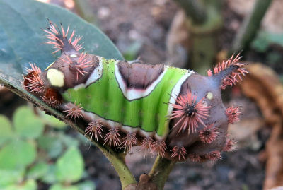 saddleback caterpillar lined with tufts