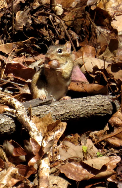 eastern chipmunk eating acorn