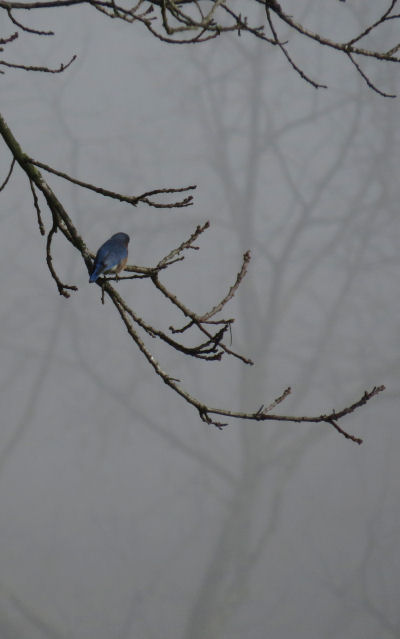 bluebird on a foggy morning