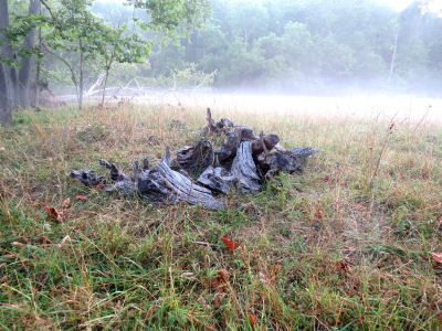 old stumps on a foggy morning